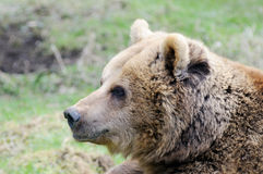 Brown bear profile Royalty Free Stock Image