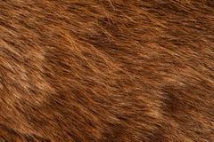 Brown Bear Coat. Real Brown Bear Fur Closeup Photography Stock Photography