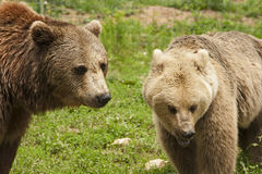 Brown bear companionship. In bear sanctuary Transylvania, Romania Stock Photo
