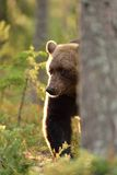 Brown bear in contra light Stock Photos
