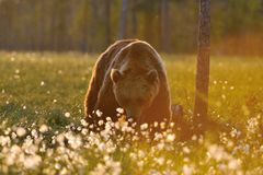 Brown bear in contra light. At sunset Stock Photography