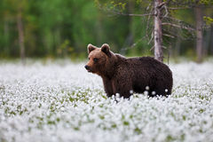 Brown bear between the cotton grass Royalty Free Stock Photo