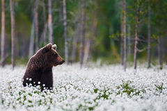 Brown bear between the cotton grass Stock Image