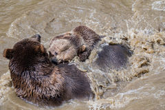 Brown bear couple cuddling in water. Two brown bears play in the water. royalty free stock photos