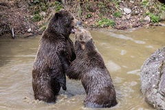 Brown bear couple cuddling in water. Two brown bears play in the water. A couple of brown bears are teasing in the water. Swallow bears. Close-up view of the stock photography
