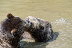 Brown bear couple cuddling in water. Two brown bears play in the water. Stock Image