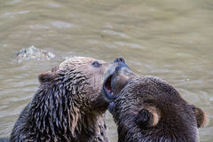 Brown bear couple cuddling in water. Two brown bears play in the water. Royalty Free Stock Image
