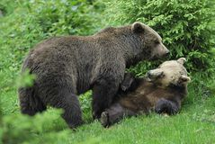 Brown Bear couple playing. Brown Bear couple, Ursus arctos, playing, Germany, Europe stock image