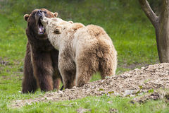 Brown bear couple Stock Image