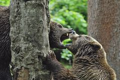 Brown Bear couple fighting. Brown Bear couple, Ursus arctos, fighting, Germany, Europe royalty free stock images