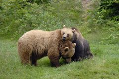 Brown Bear couple grooming. Brown Bear couple, Ursus arctos, grooming, Germany, Europe stock photo