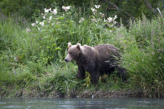 Brown bear on the Creek Bank. Brown bear came ashore stream for salmon fishing Stock Photography