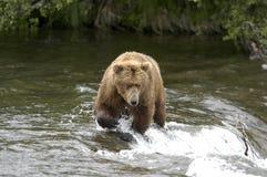 Brown bear crossing Brooks River. Alaska just above Brooks Falls Royalty Free Stock Photography