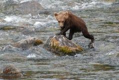 Brown Bear Cub. A Brown Bear cub climbing on a rock Stock Images