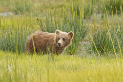 Brown bear cub Royalty Free Stock Images