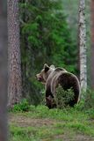 Brown Bear with cub Stock Photos