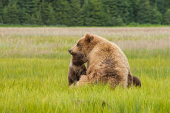Brown Bear With Cub Stock Image