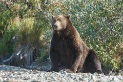 Brown bear cub at Alaska Katmai Stock Photography