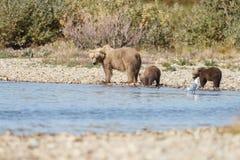 Brown bear cub at Alaska Katmai Stock Images