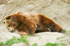 Brown bear cub in bear park of Bern, Switzerland Stock Photo