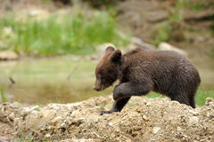 Brown bear cub Stock Images