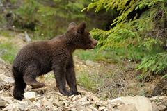 Brown bear cub Royalty Free Stock Image
