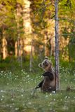 Brown bear cub chewing dry snag branch stock images