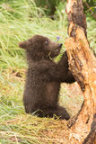 Brown bear cub chews branch of tree Royalty Free Stock Image