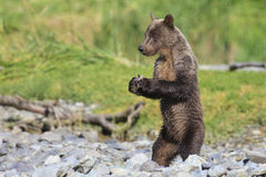 Brown bear cub with clam in his claws Royalty Free Stock Photography