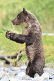 Brown bear cub with clam in his front paws. Brown bear cub with clam in claws Stock Photography