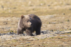Brown bear cub clamming for food. Brown bear cub looking for clams Stock Image