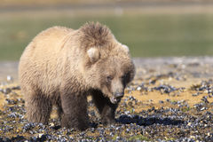 Brown bear cub clamming after tide. Brown bear cub clamming for food Royalty Free Stock Photography