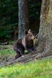 Brown bear cub royalty free stock photos