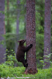 Brown bear cub climbing tree in Finnish forest Royalty Free Stock Image
