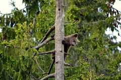 Brown bear cub climbs tree Stock Image