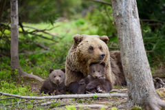 Brown bear and cub. Brown bear with cubs in forest Stock Photos