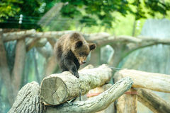 Brown bear cub Royalty Free Stock Photography