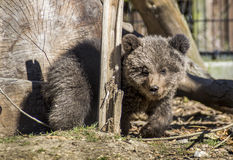 Brown Bear Cub. Curious brown bear cub looking at the camera Stock Images