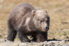 Brown bear cub digging for clams Royalty Free Stock Photography