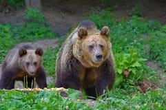 Brown bear and cub Royalty Free Stock Image