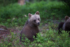 Brown bear cub in Finnish forest Stock Images