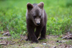 Brown bear cub in Finnish forest Royalty Free Stock Photo