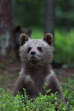 Brown bear cub in Finnish forest Stock Image