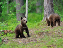 Brown bear cub in the forest Royalty Free Stock Image