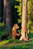 Brown bear cub in the forest Royalty Free Stock Photos