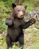 Brown bear cub Royalty Free Stock Photos