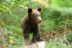 Brown bear cub Royalty Free Stock Photo