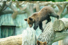 Brown bear cub Royalty Free Stock Photography