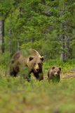 Brown bear with cub Stock Photography