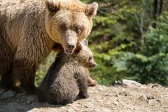 Brown bear with cub in forest Stock Photos